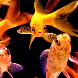 Eyes by Radu Eftimie - Animals Fish ( colors, aquarium, fishes, eyes )