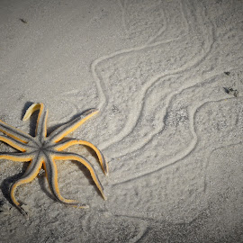 Starfish Trail by Lorna Littrell - Animals Sea Creatures ( sea life, seashore, starfish, nature up close, nature photography )