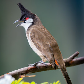 Red Whiskered Bulbul by Alick McWhirter - Animals Birds ( red, pycnonotus jocosus, red whiskered bulbul, frugivore, passerine, whiskered, bird, bulbul )