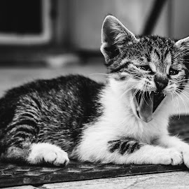 kitten by Norbert Demeter - Animals - Cats Kittens ( blackandwhite, kitten, cute, small, yawn )
