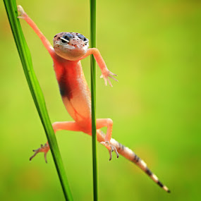 super hero by Shikhei Goh II - Animals Reptiles ( kungfu, gecko )