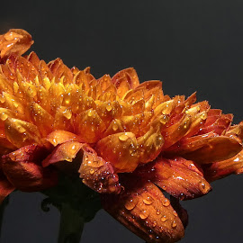 Orange Marmalade by Dave Walters - Flowers Single Flower ( macro, flowers mystical, nature, botany, colors, lumix fz2500 )
