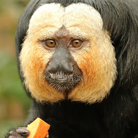 Saki Monkey by Ralph Harvey - Animals Other Mammals ( wildlife, ralph harvey, monkey, marwell zoo, animal )