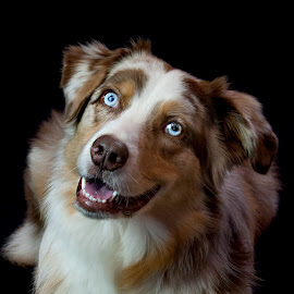 The Smile says it all  by Morgan Baumgartner - Animals - Dogs Portraits ( smiling dog, red merle, australian shepherd, happy dog, aussie )