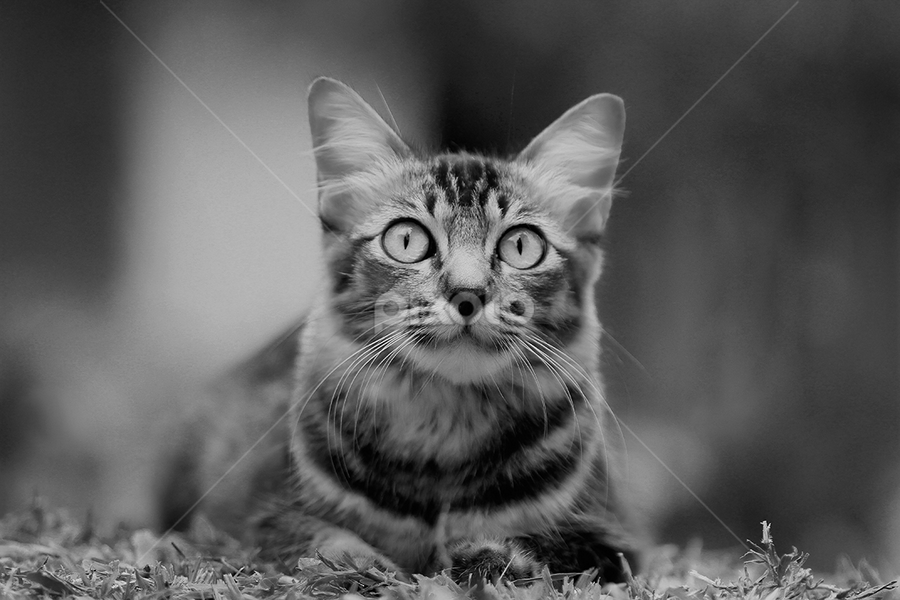 b&w by Nazarul Azlan - Animals - Cats Kittens