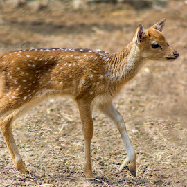 ANIMAL_4_2017 [_DSC7112] by Malay Maity - Animals Other Mammals ( mammal, deer, animal )