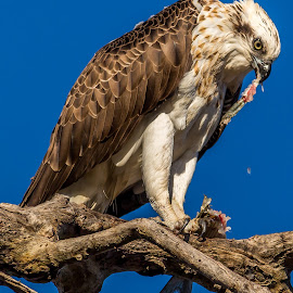 Feeding Osprey by Shayne Sim - Animals Birds ( bird of prey, eagle, feeding, bird photography, osprey )