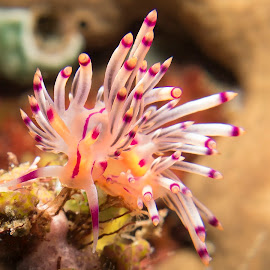 Bad Hair Day by David Mason - Nature Up Close Other Natural Objects ( redline flabellina, macro, sea creatures, purple, aeolid nudibranch, underwater, feeding, underwater life, puerto galera, nudibranch, philippines, ocean life )