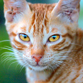 by Wahyudi Barasila - Animals - Cats Portraits