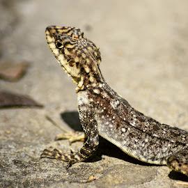 by Yogendra Porwal - Animals Reptiles ( adventurous, lizard, animals, nature, suntemple, discover, wildlife )