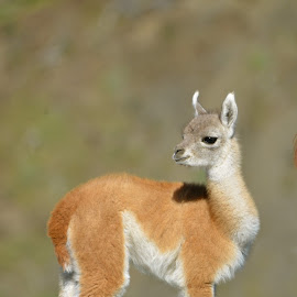 Baby Guanaco in Patagonia by Janet Rose - Novices Only Wildlife
