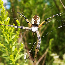 BIG SPIDER by Peter Rippingale - Animals Insects & Spiders ( nature up close, spider )