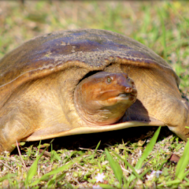 Florida Softshell Turtle by Elfie Back - Animals Reptiles