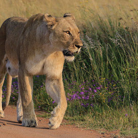 Lioness by Dirk Luus - Animals Lions, Tigers & Big Cats ( predator, lion, cat, female, wildlife )