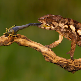 lunch by Angi Wallace - Animals Reptiles ( lizard, reptile, chameleon )
