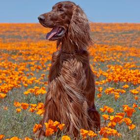 Phantom in the Poppies by Ann J. Sagel - Animals - Dogs Portraits ( phantom, poppies, dog, animal,  )
