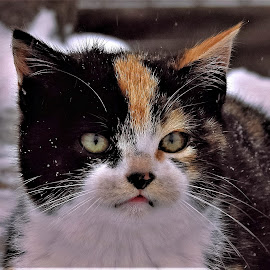Snow Kitten by Sue Delia - Animals - Cats Kittens ( calico, wild, cat, kitten, snow, feral,  )