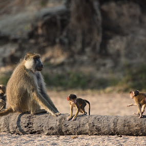 Baboons by VAM Photography - Animals Other Mammals ( animals, baboons, nature, ruaha, tanzania )