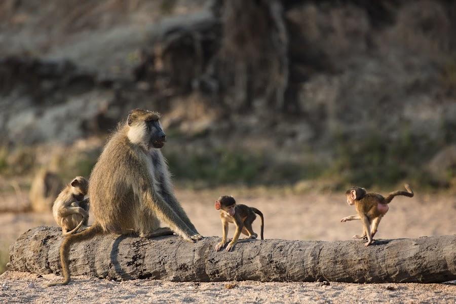 Baboons by VAM Photography - Animals Other Mammals ( animals, baboons, nature, ruaha, tanzania,  )