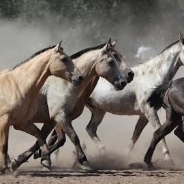 by Tom Muskiluke - Animals Horses (  )