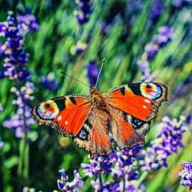 lavander life by Ira Mdt - Animals Insects & Spiders ( #lavander #fields #butterfly #colorfull #summer,  )