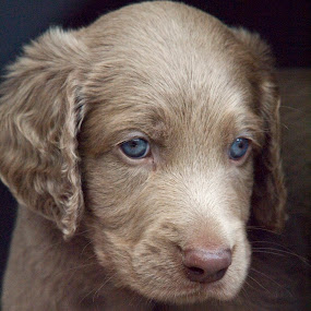 Dog 1 by BertJan Niezing - Animals - Dogs Puppies ( weimaraner, sweet, pup, dog, young )
