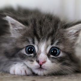 Little hunter by Jane Bjerkli - Animals - Cats Portraits ( playing, cat, kitten, sweet, blue, pet, hunting, cute, animal, eyes )