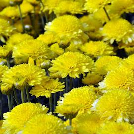 Chrysanthemum-YELLOW by Debanjan Goswami - Flowers Tree Blossoms (  )