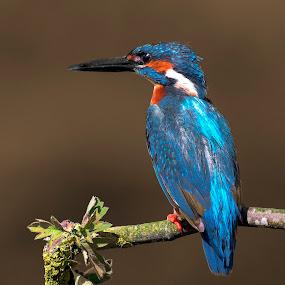 Guarda Rios by Pedro Varão - Animals Birds (  )