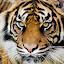 Sumatran tiger by Steven Stamford - Animals Lions, Tigers & Big Cats ( big cat, hunter, carnivore, panthera tigris sumatrae, tiger, sumatran tiger, stripes,  )