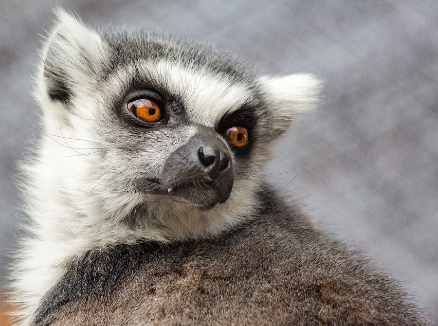 Ring Tailed Lemur by Dave Lipchen - Animals Other Mammals ( ring tailed lemur )