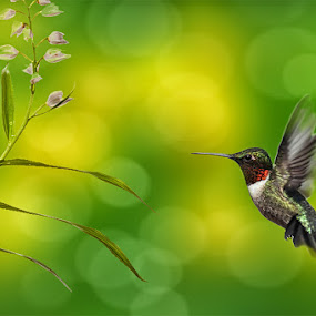 Humming by Vincent Benex - Animals Birds