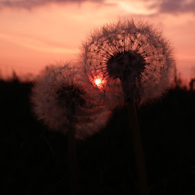 Evening Clock  by Paul Rayney - Nature Up Close Flowers - 2011-2013 ( plant, red, sky, nature, clock, sunset, seed, weed, pink, flower, dandilion )