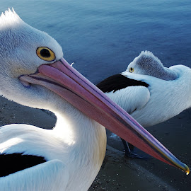 Pelicans by Sarah Harding - Novices Only Wildlife ( bird, nature, novices only, wildlife, animal )