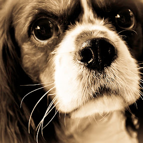 Those Eyes  by Sawyer Jones Photography  - Animals - Dogs Portraits ( animals, photograph, pets, camera, sawyer jones photography, dog, nikon d5000 )