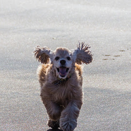 Joy at the Beach by Palmi Vilhjalmsson - Animals - Dogs Running ( joy, fun, beach, living, dog, running iceland )