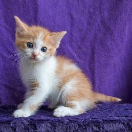Soft kitty, warm kitty by Jess van Putten - Animals - Cats Kittens ( cat, kitten, ginger, blue eyes, kitty,  )