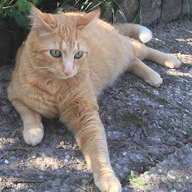 Henry by Dobrin Anca - Animals - Cats Portraits ( green, street, cat, garden, brittany )