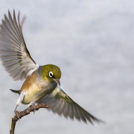 Waxeye on twig 1 by Trevor Bond - Animals Birds