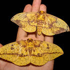 Imperial Moth - 7704