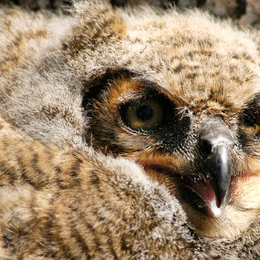 Owlet Just Left the Nest  by Melanie Metz - Animals Birds ( bird, owlet, owl, feathers, animal )
