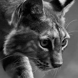 Bobcat by Shawn Thomas - Black & White Animals