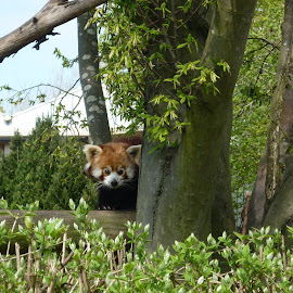 a shy red panda by Willie Calnun - Animals Other
