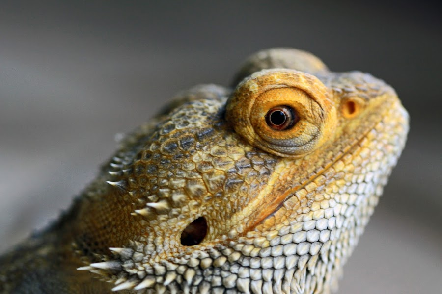 Lucifer Watching by Ron Harper - Animals Reptiles