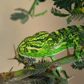 Chameleon by Manoj Kulkarni - Animals Reptiles ( nature, wildlife )