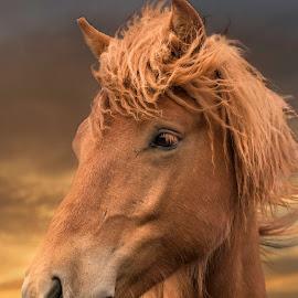 Tristan by Anna Guðmundsdóttir - Animals Horses ( 2017, iceland, icelandic horses, stóru-sandvík, 01.júl, tristan, hestar, horse, anna guðmundsdóttir, ísland, hestur )