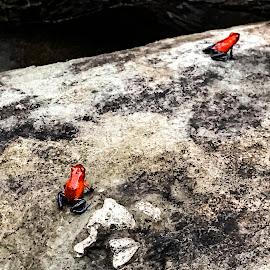 Blue-Jean Frogs by Bonnie Davidson - Animals Amphibians ( park, pair, amphibian, stone, blue jean poison dart frog, gray, amphibians, poison dar frogs, two, captivity, la paz waterfall gardens nature park, red, nature, blue, costa rica,  )