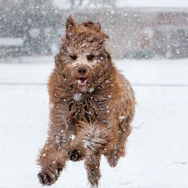 Snow Play by Kathy Suttles - Animals - Dogs Running (  )