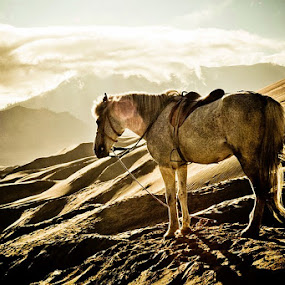 Bromo's Horse by Juang Rahmadillah - Animals Horses