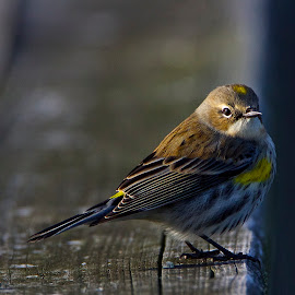 Yellow-rumped Warbler Perching On Bridge Rail by Keith Lowrie - Animals Birds ( song bird, yellow-rumped warbler, warblers, yellow-rumped, warbler,  )